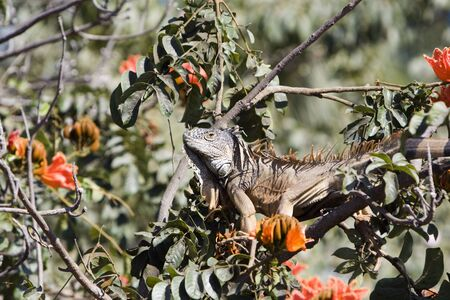 Brown iguana feeding in a habiscus tree.