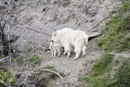 Mountain goat and kid in Jasper National Park. Stock Photo