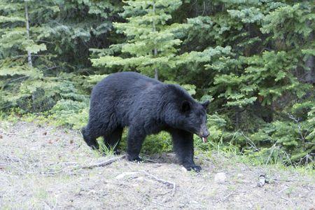 oso negro: Oso negro en un paseo por el Parque Nacional Jasper.