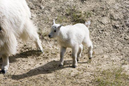 Newborn mountain goats in Jasper National Park. Stock Photo