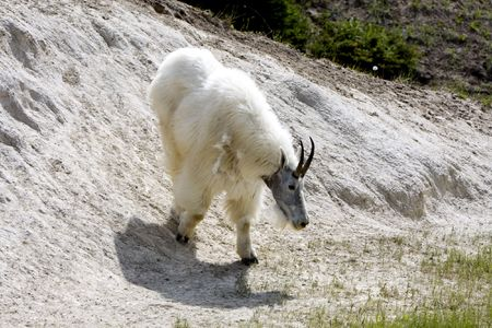 Adult mountain goat showing spring loss of hair in Jasper National Park.