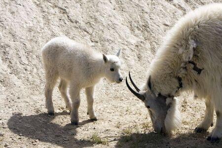 mountain goats: Neonati capre di montagna nel Parco Nazionale di Jasper.