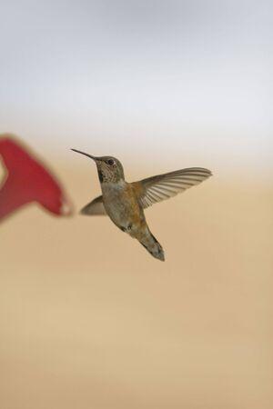 Humming bird having dinner at a feeder.