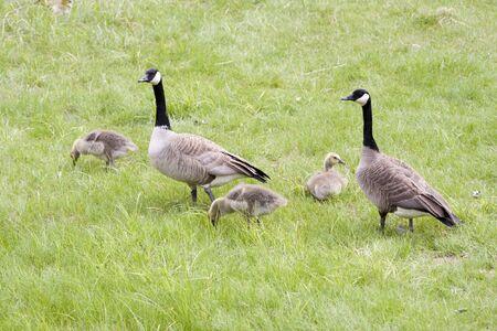 goslings in the grass, Jasper National Park Stock Photo