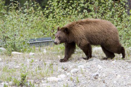 Cinnamon colored black bear in Jasper National Park. Stock Photo
