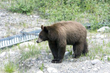 black bear: Cannella colore nero recare in Jasper National Park.
