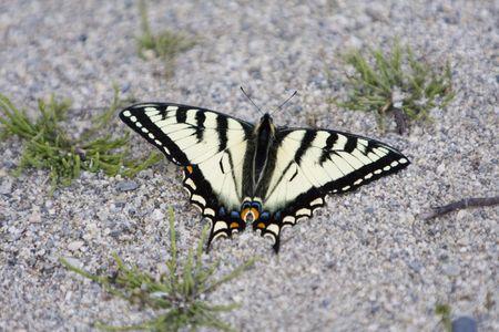 Yellow (viceroy?) butterfly feeding in a field.