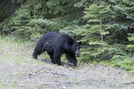 Black bear on a stroll in Jasper National Park.
