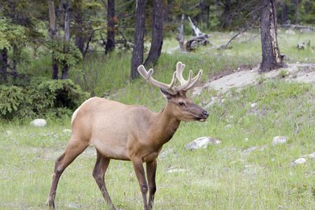 Bull elk in velvet, shot in Jasper National Park. Stock Photo