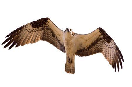Osprey in flight. Isolated on white. Stock Photo