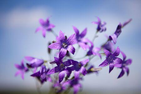Delicate Campanula patula  close up image with soft selective focus. Stock Photo - 7129615