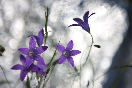 patula: Delicate Campanula patula  close up image with soft selective focus. Stock Photo