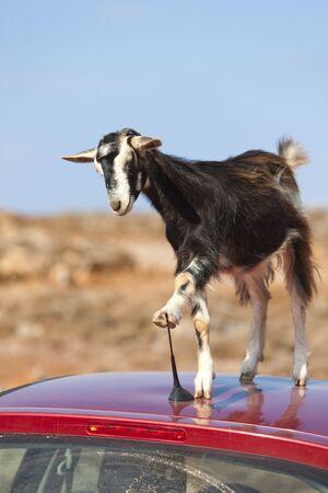 tried: This mountain goat tried to eat a car antennas Stock Photo