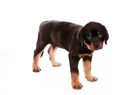 Rottweiler puppy on a white background.