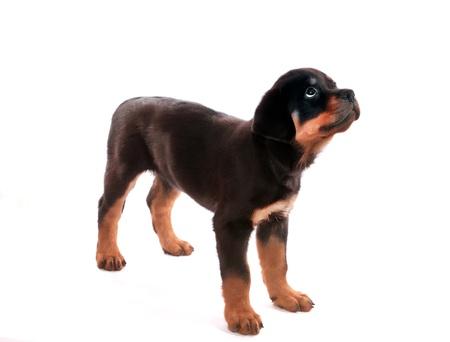 Rottweiler puppy on a white background.