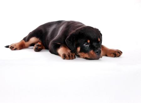 Rottweiler pup op een witte achtergrond. Stockfoto
