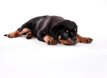 rottweiler: Rottweiler puppy on a white background.