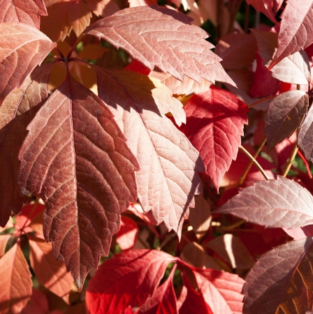 southeastern: Virginia creeper, five-leaved ivy, or five-finger  Parthenocissus quinquefolia  is a woody vine native to eastern and central North America, in southeastern Canada, the eastern and central United States, eastern Mexico, and Guatemala, west as far as Manit Stock Photo