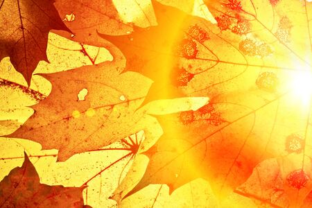 changing colors: Autumn background with maple leaves