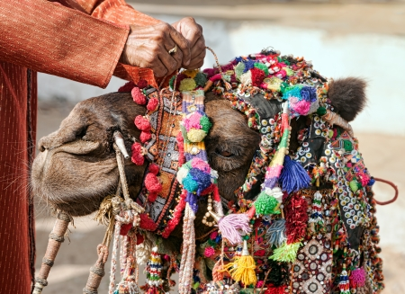 Decoration camel at the Pushkar Fair ( Pushkar Camel Mela ). Camels head close-up.  Pushkar, Rajasthan, India, Asia photo