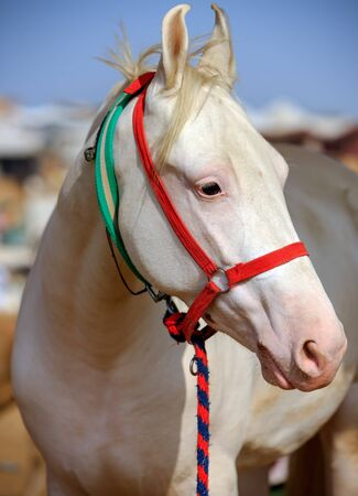 rajasthan: White horse at Pushkar Fair in Rajasthan, India, Asia