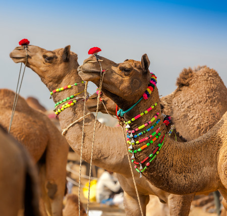 agriculture india: Decorated camel at the Pushkar fair. Rajasthan, India, Asia