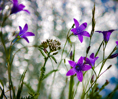 patula: Delicate Campanula patula  close up image with soft selective focus. Stock Photo