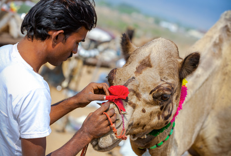 PUSHKAR, INDIA - NOVEMBER 21, 2012: unidentified Rajasthani Indian man decorates his camel at Pushkar Fair (Pushkar Camel Fair, Pushkar Mela).  Farmers and traders from all over Rajasthan flock for the annual fair.