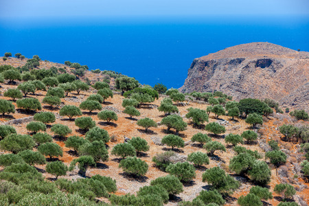 Beautiful view of an olive plantation on the mountain of Crete in Greece