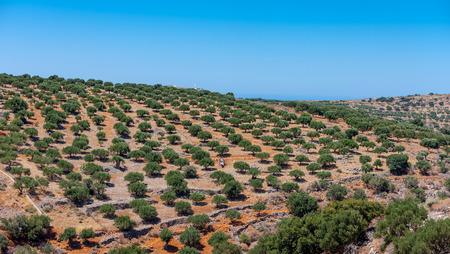 Bella vista di un uliveto sulla montagna di Creta in Grecia Archivio Fotografico - 84975499