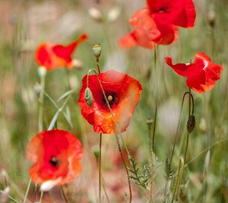 Wild red poppies closeup