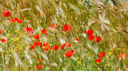 Wild red poppies