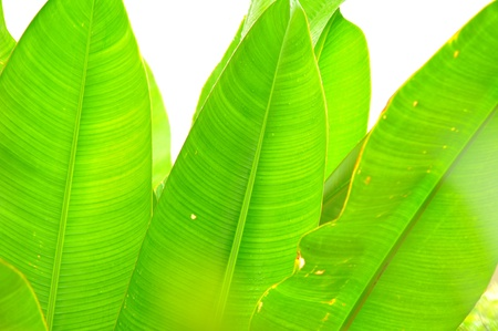 long banana leaf background photo