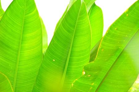 long banana leaf background photo