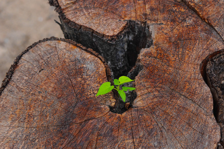 stool: young spring leaf from stool wood 02 Stock Photo