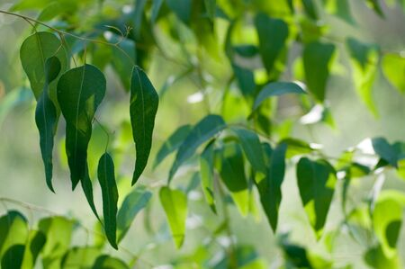 eucalyptus trees: detail of a sunlit eucalyptus tree  against the blue sky