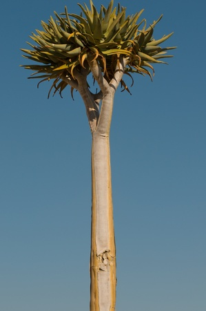 quiver: verticale uitzicht op kocherbaum, of Quiver Tree, gefotografeerd in Namibië