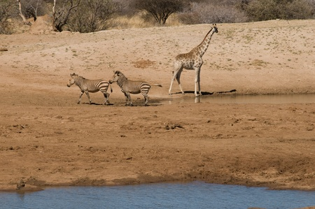 A giraffe and zebras by a waterhole, photographed in Namibia photo