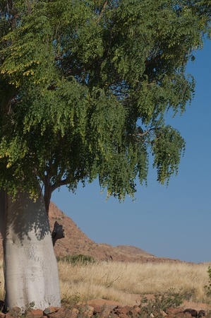 widely: partial view of moringa tree growing in Namibia which is widely used for medicine Stock Photo