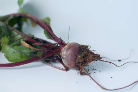 edible leaves: freshly digged beetroot with its edible leaves