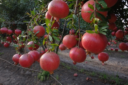 ripe pomegranates  growing on the trees photo
