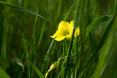 yellow buttercup flower growing in the field Stock Photo - 18304625