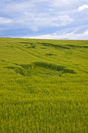 Wheat field damaged from wind