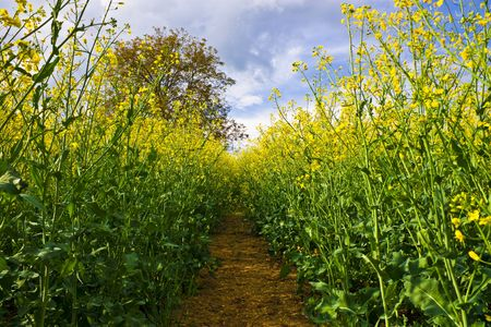 View inside yellow rapeseed field with tree Stock Photo