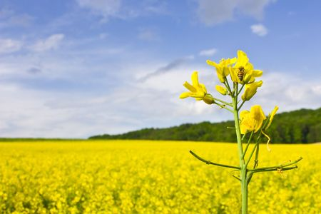 canola plant: Bee on yellow flower in rape field