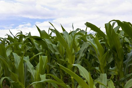 Plant with fresh young maize