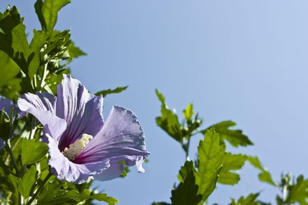 Violett Hibiscus syriacus bloom and blue sky