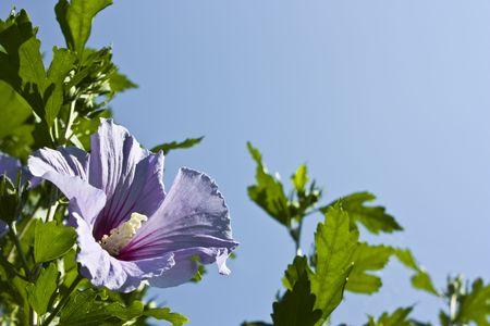 violett: Violett Hibiscus syriacus bloom and blue sky
