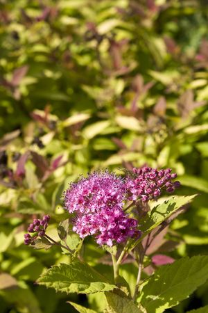 Spiraea or meadowsweet flowers in pink with green shrub