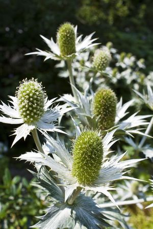 Apiaceae Eryngium giganteum biennial